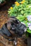 Boxer Happy boy vom Erlenhain, alias Wotan, genannt Woti - Foto der Woche 26.01.-01.02.201